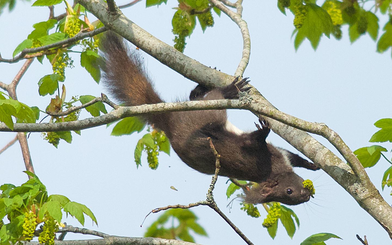 ichhörnchen, Akrobaten in den