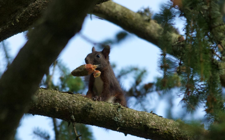 ichhörnchen in Feld und Wald