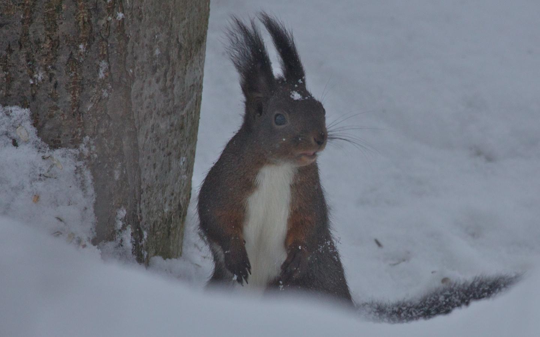 ichhörnchen im Winter
