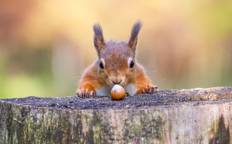 oom-Vortrag: Eichhörnchen in